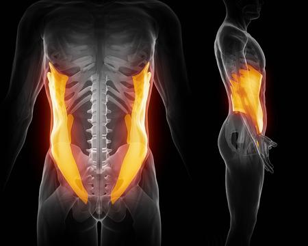 oblique: External abdominal oblique Stock Photo