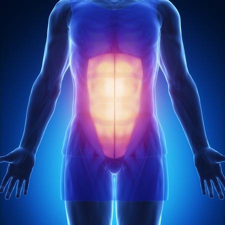 rectus: rectus abdominis