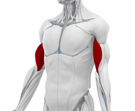 Biceps Brachii Muscles Anatomy Map Stock Photo Picture And