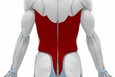 Latissimusdorsi - Spieren anatomie kaart