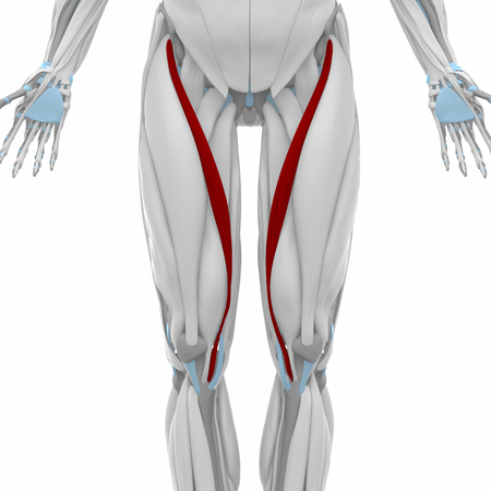 musculus: Sartorius - Muscles anatomy map Stock Photo