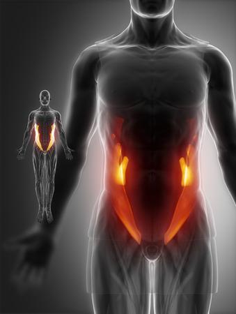 external: External abdominal oblique Stock Photo