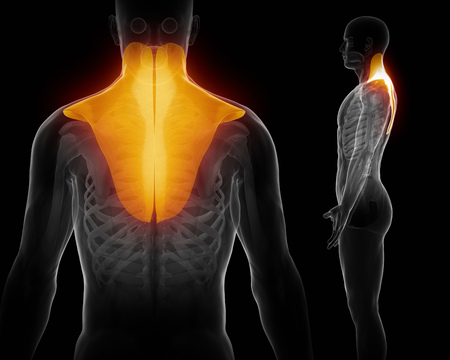 trapezius: trapezius Stock Photo