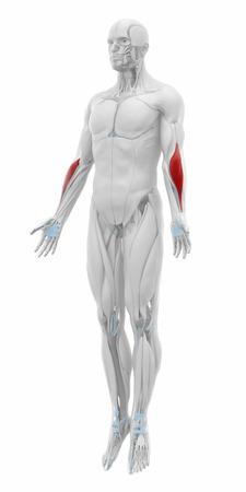 musculus: Brachioradialis - Muscles anatomy map Stock Photo