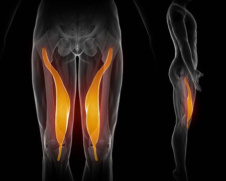 ligament: Vastus medialis Stock Photo