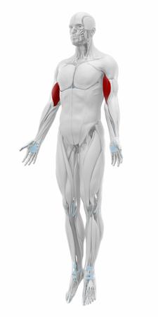 musculus: Biceps brachii - Muscles anatomy map