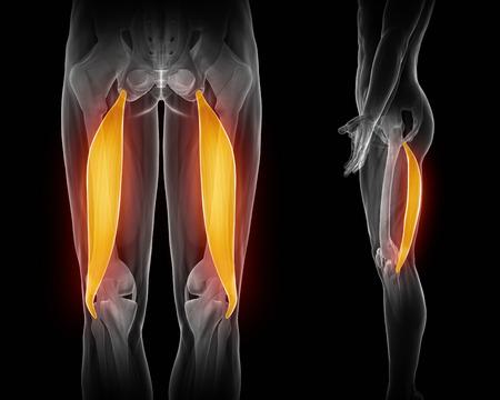 muslos: Bíceps femoral anatomía muscular