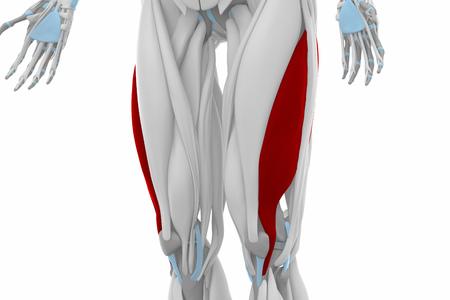 musculus: Vastus lateralis - Anatomy map muscles