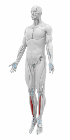 musculus: Tibialis anterior - Muscles anatomy map Stock Photo
