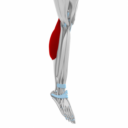Gastrocnemius Muscles Anatomy Map Stock Photo Picture And Royalty
