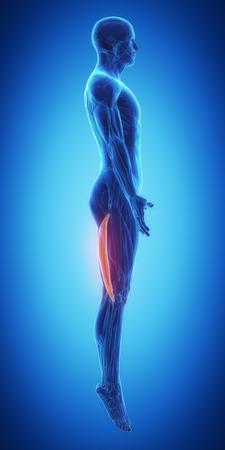 Bicep femoris muscle anatomy Stock Photo