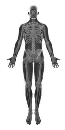 male anatomy: Muscle anatomy isolated - Stock Photo