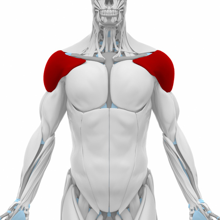 Anatomy Deltoid Muscle Stock Photos Royalty Free Anatomy Deltoid