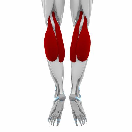Gastrocnemio - Músculos Mapa Anatomía Fotos, Retratos, Imágenes Y ...