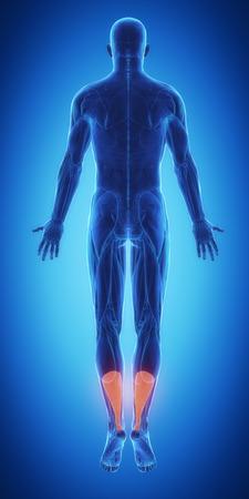 calf strain: Achilles anatomy Stock Photo