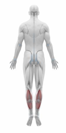 soleus: Soleus - Muscles anatomy map Stock Photo