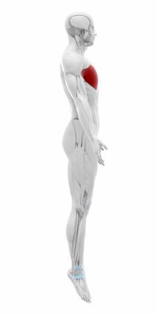 pectoralis: pectoralis major - Muscles anatomy map