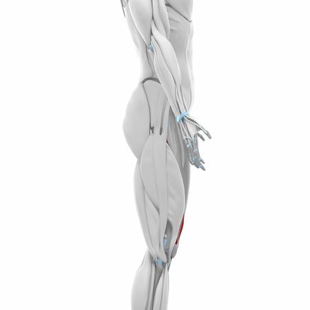 musculus: Vastus medialis - Muscles anatomy map