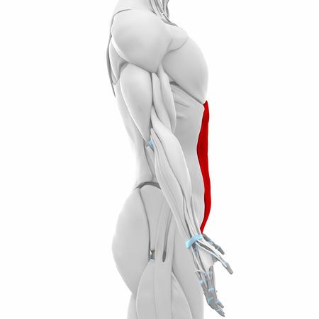 musculus: external abdominal oblique  - Muscles anatomy map