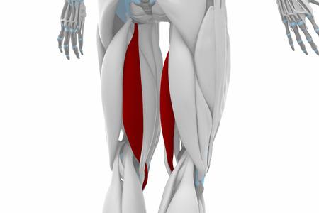musculus: semitendinosus - Muscles anatomy map Stock Photo