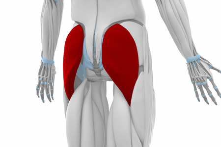 musculus: Gluteus maximus - Muscles anatomy map