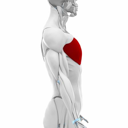 muscle injury: pectoralis major - Muscles anatomy map