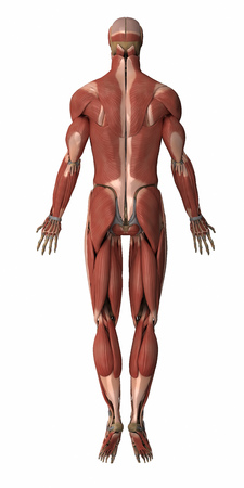 musculus: Muscles anatomy map