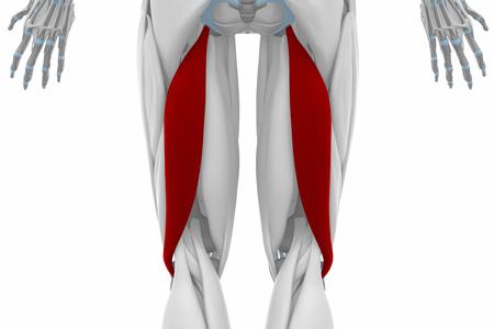 musculus: Biceps femoris - Muscles anatomy map