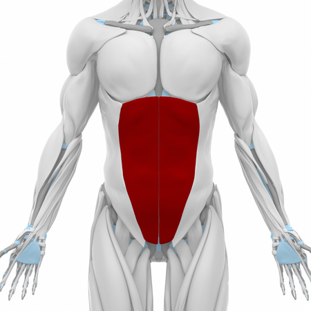 oblique: external abdominal oblique  - Muscles anatomy map