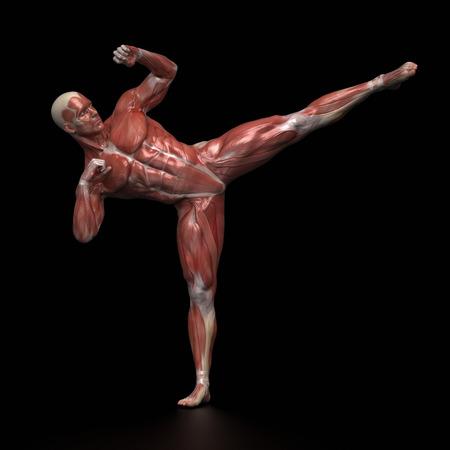 nudo maschile: L'uomo anatomia muscolare infight posa