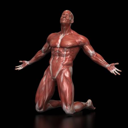 Anatomie Muskel Karte Weiß Isoliert - Kampf Pose Lizenzfreie Fotos ...