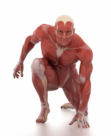 strong skeleton: Anatomy muscle map white isolated - fight pose