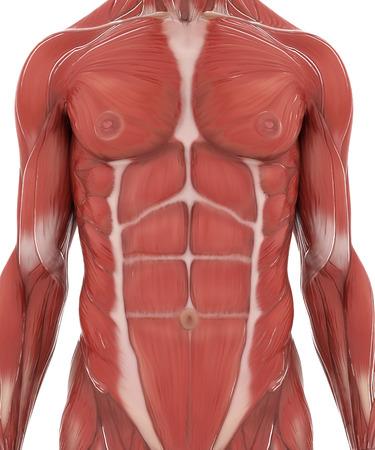 Anatomie Muskel Karte auf weiß isoliert Standard-Bild - 54728991