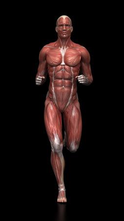 male body: Running man - muscle anatomy