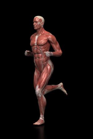 strong skeleton: Running man - muscle anatomy