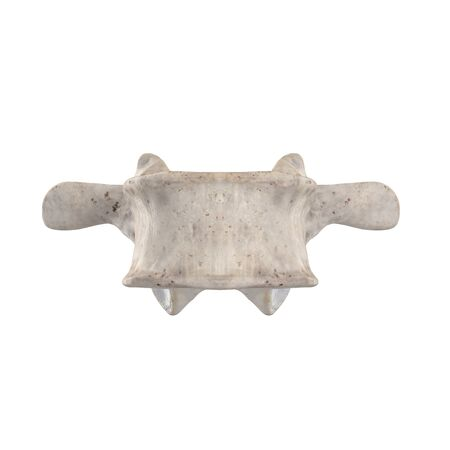 L3 Lumbar vertebra  isolated on white anterior view