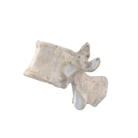 T11 Thoracic vertebra  isolated on white left lateral view Фото со стока