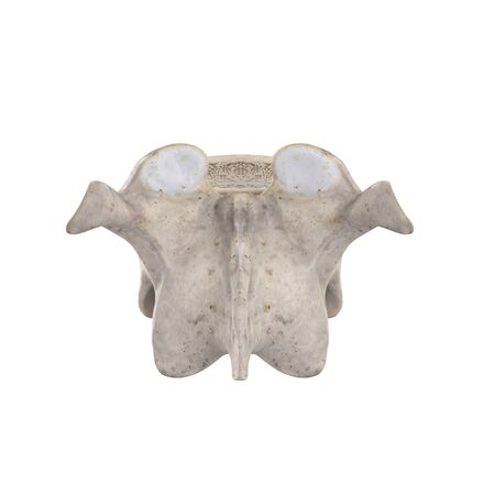 T10 Thoracic vertebra  isolated on white posterior view Фото со стока