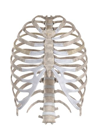 Thoracic skeleton isolated on white anterior view