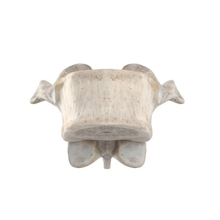 T10 Thoracic vertebra  isolated on white anterior view