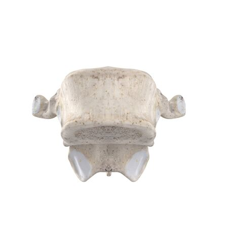 T11 Thoracic vertebra  isolated on white anterior view Фото со стока