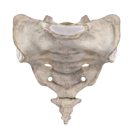 Os sacrum isolated on white anterior view