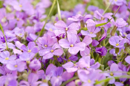 small purple flower: small Purple flower in garden. Beautiful spring blooming flowers Stock Photo