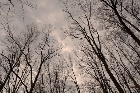 Looking up into a cloudy sky through bare trees in winter