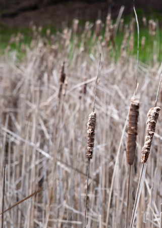 Several dead, dry cattails on a pond in the springtime