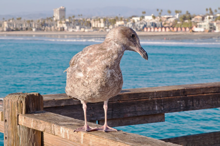 A California seagull standing upon a wooden pier with the coastline of the Pacific ocean behind it in Oceanside, California, USA Foto de archivo