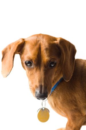 A cute Miniature Dachshund, with blue collar and dangling tags, isolated on white.