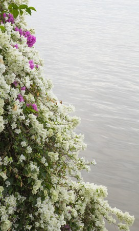 rim: pink and white color of flowers rim water Stock Photo
