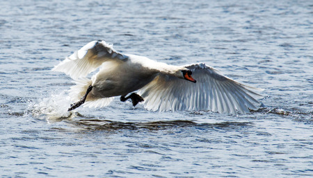 A swan chasing geese away at a local pond on long island, NY Stock Photo