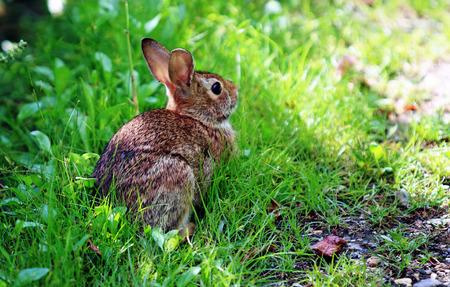 lapin: Un lapin se repose à l'ombre lors d'une chaude journée d'été